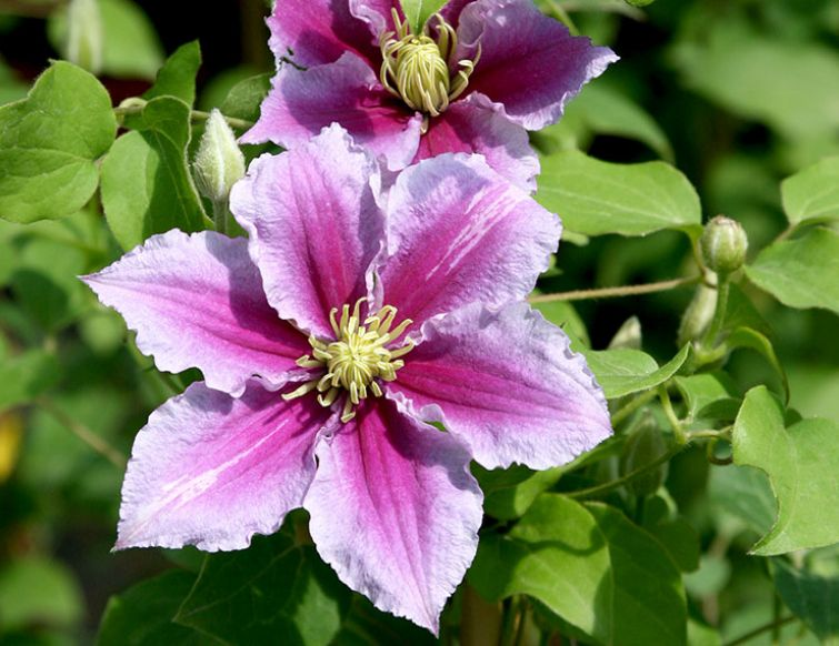 Waldrebe - Clematis