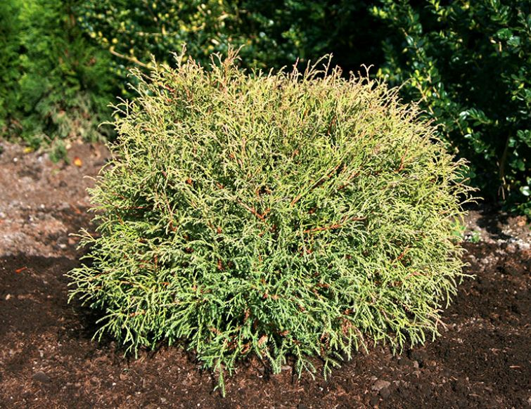Kugellebensbaum - Thuja occidentalis 'Mr. Bowling Ball'