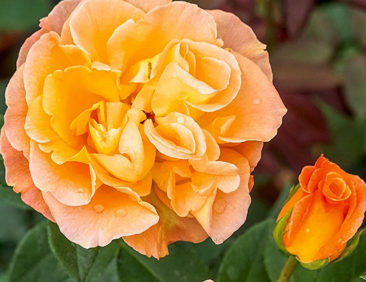 Rose bedeutung islam rote Rote bedeutung