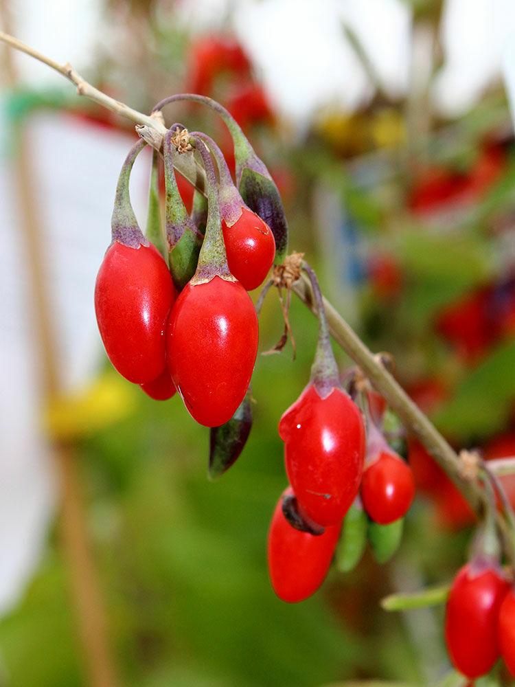 Fructele goji: beneficii si contraindicatii