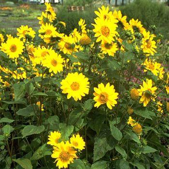 Sonnenblume Capenoch Star