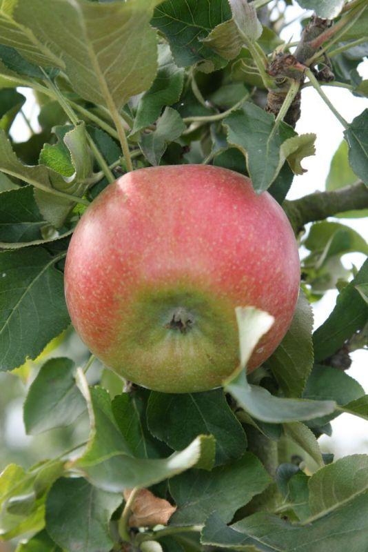 Rhapsodie® Apfel Säulenapfel (anspruchslos, schorfresistent)